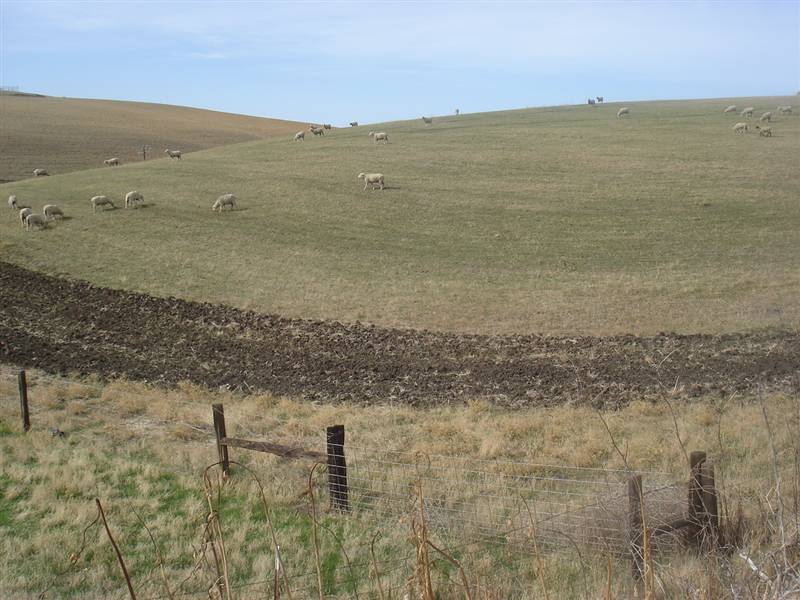 Sheep, hills near Rio Vista